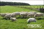 7atx10_schapen_klaar